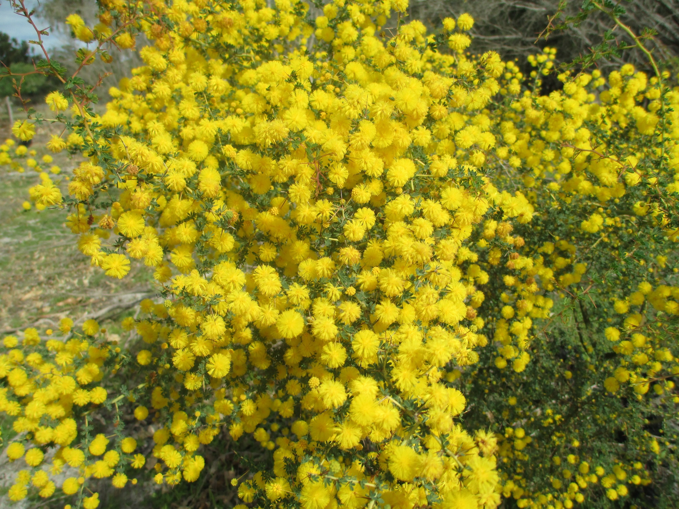 Acacia pulchella (prickly moses)
