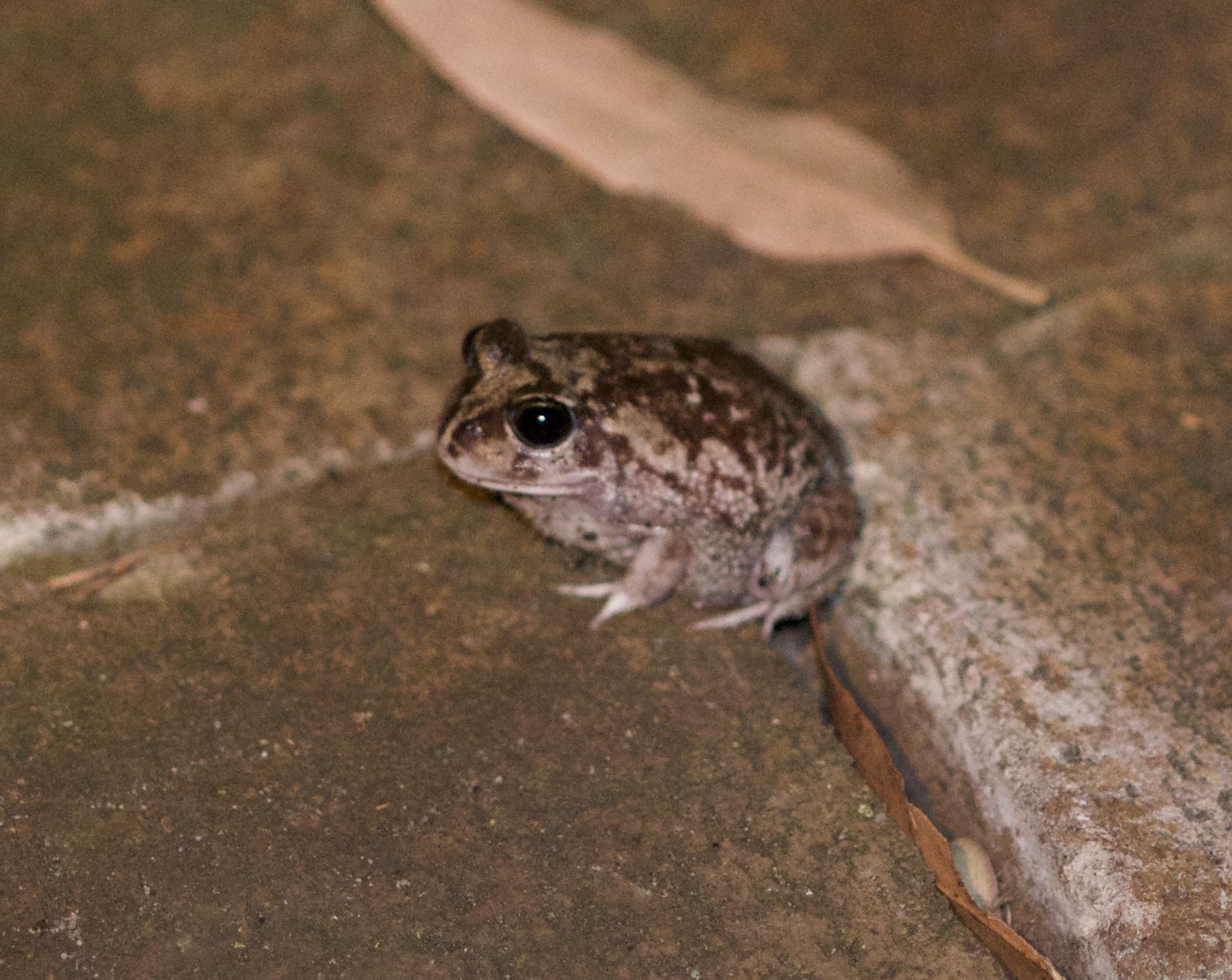 Moaning frog- Helioporus eyrei