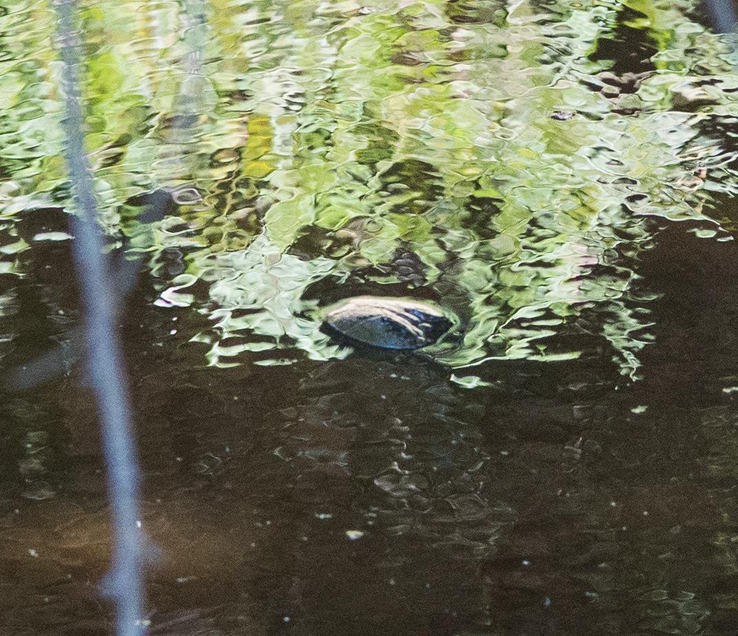 Western long necked turtle