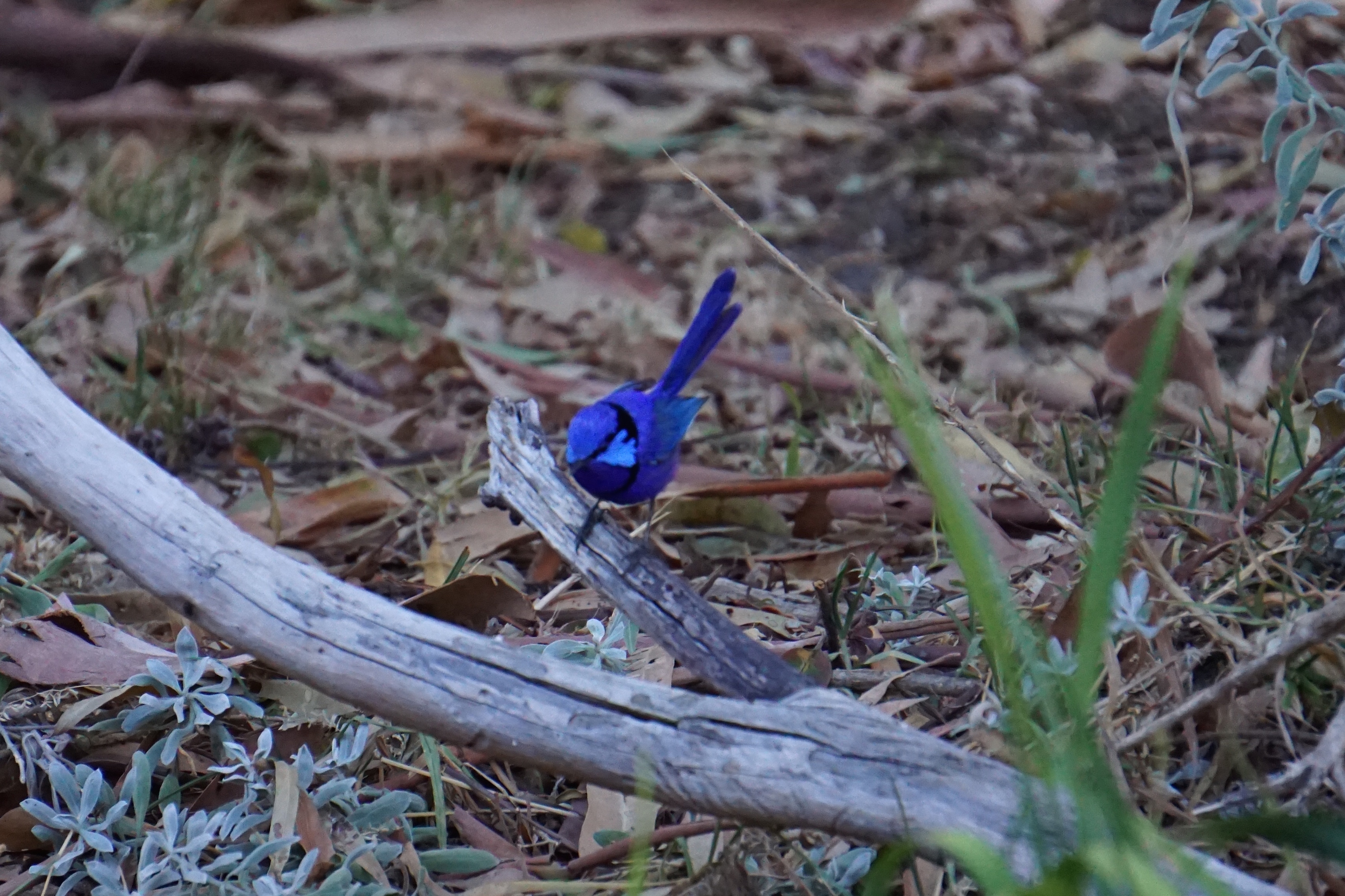 Male splendid wren