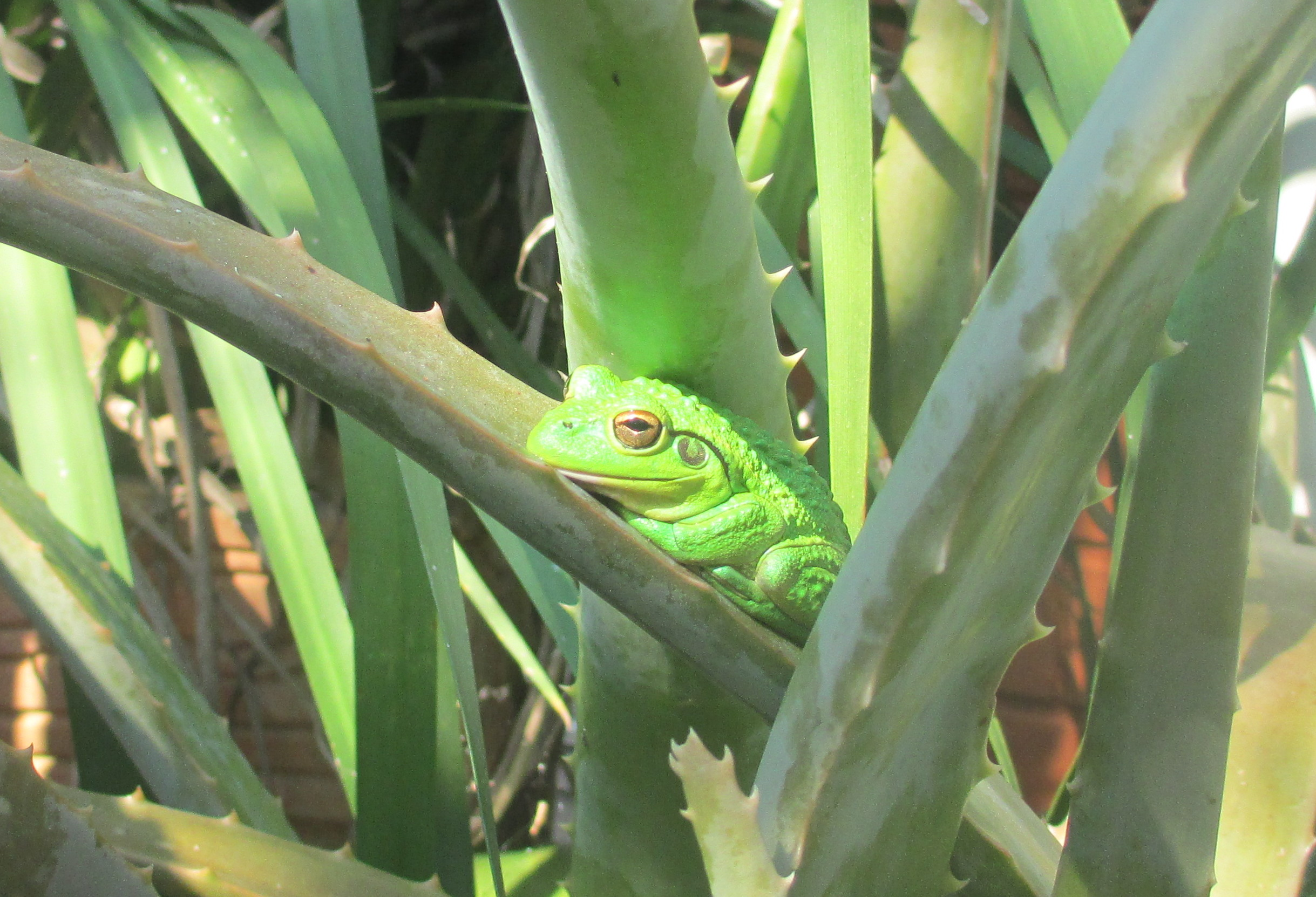 Hiding in the Aloe Vera