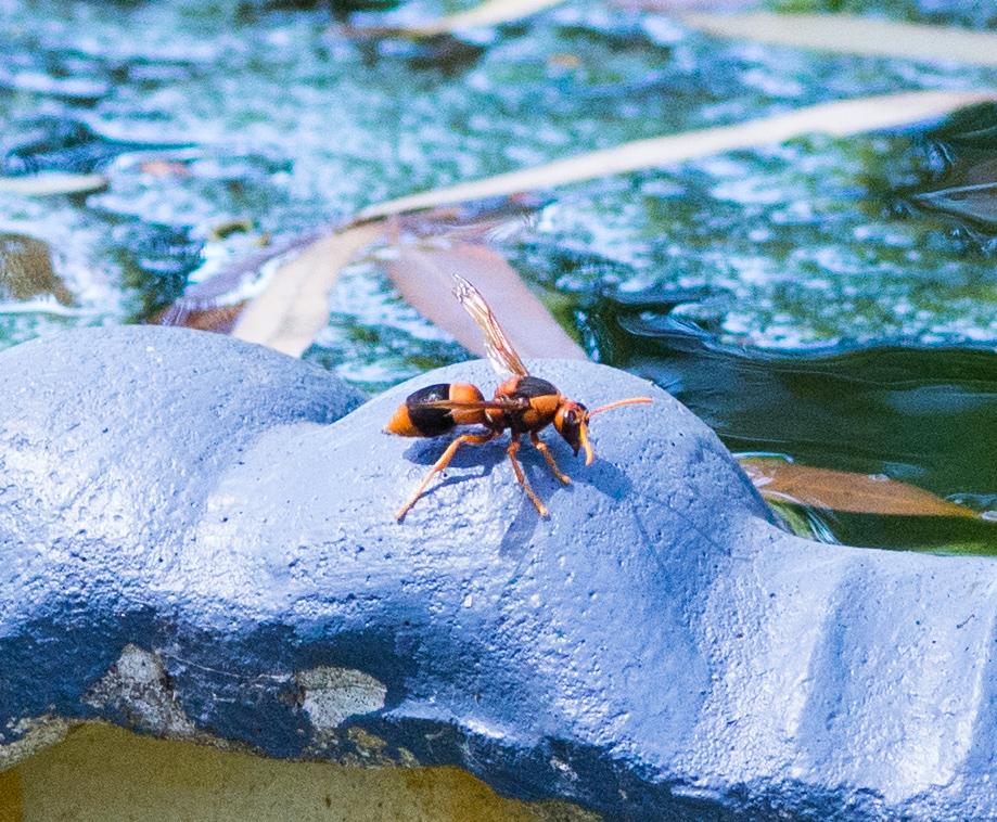 Potter Wasp-female