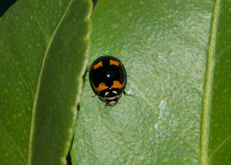 Ladybird, possibly Orcus ausralasiae