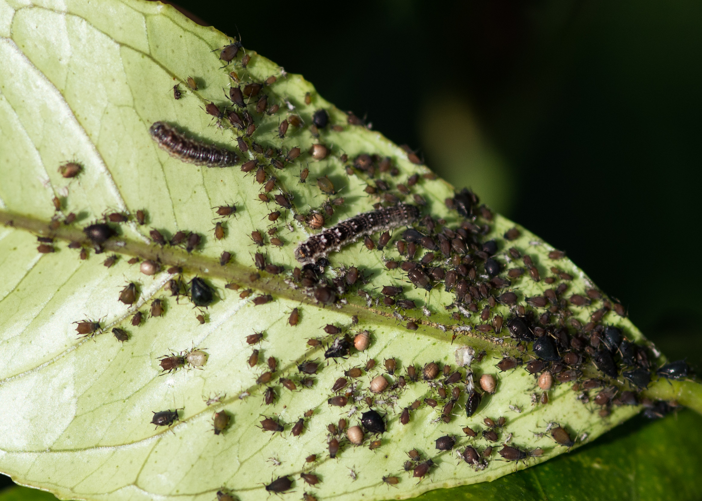 Bug community- hoverfly larvae, juvenile and adult aphids, parasitised aphids