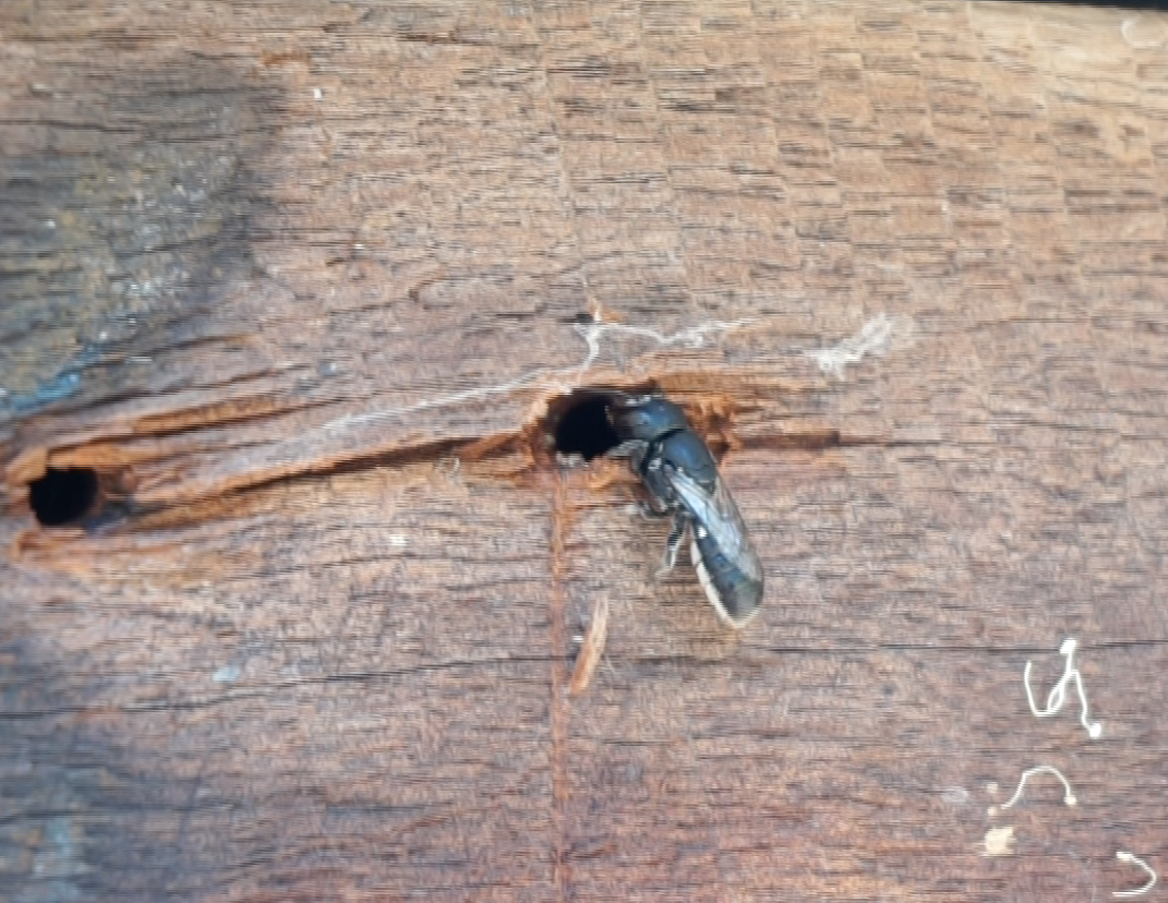 Resin bee entering a nail hole