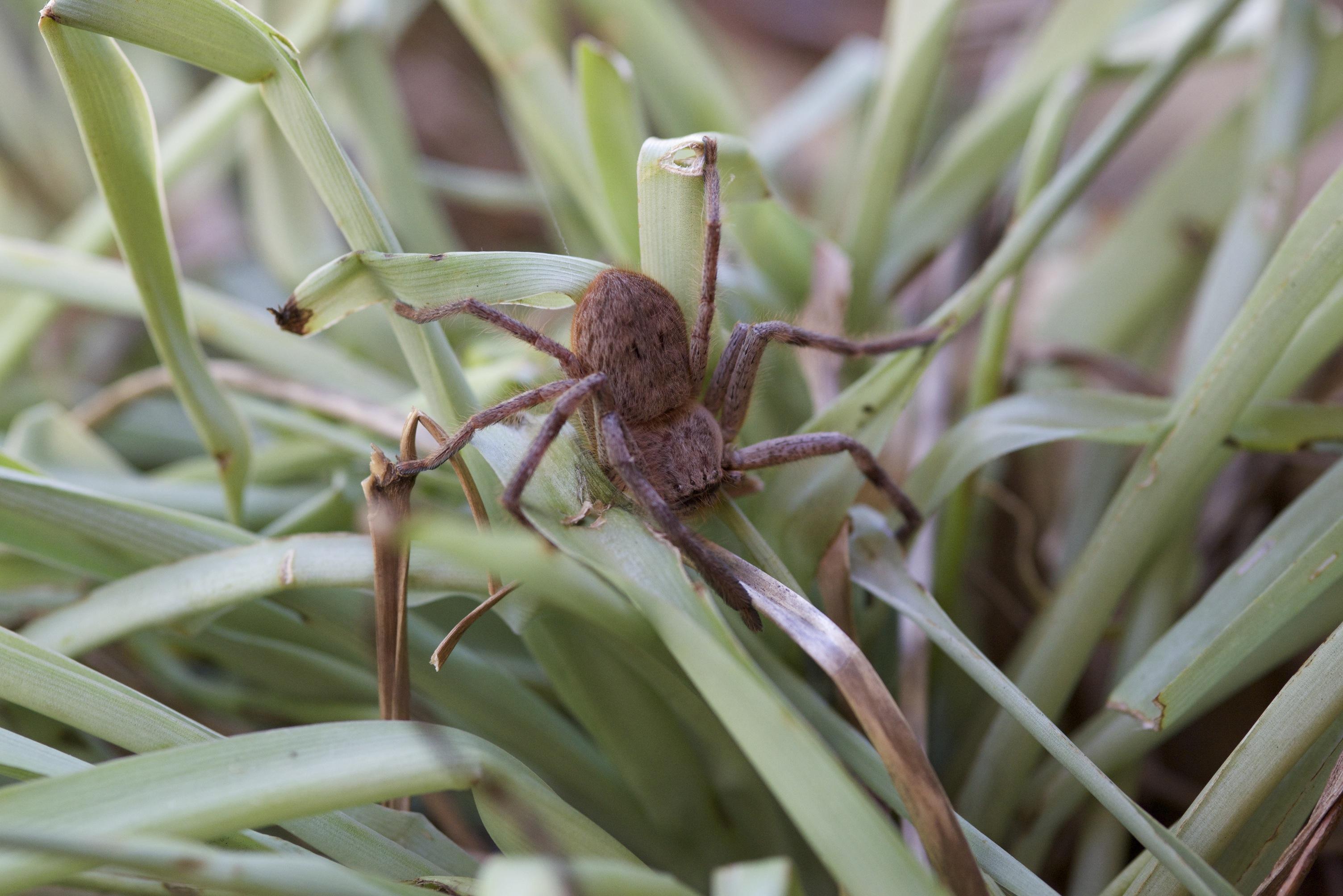 We get plenty of Huntsmen spiders!