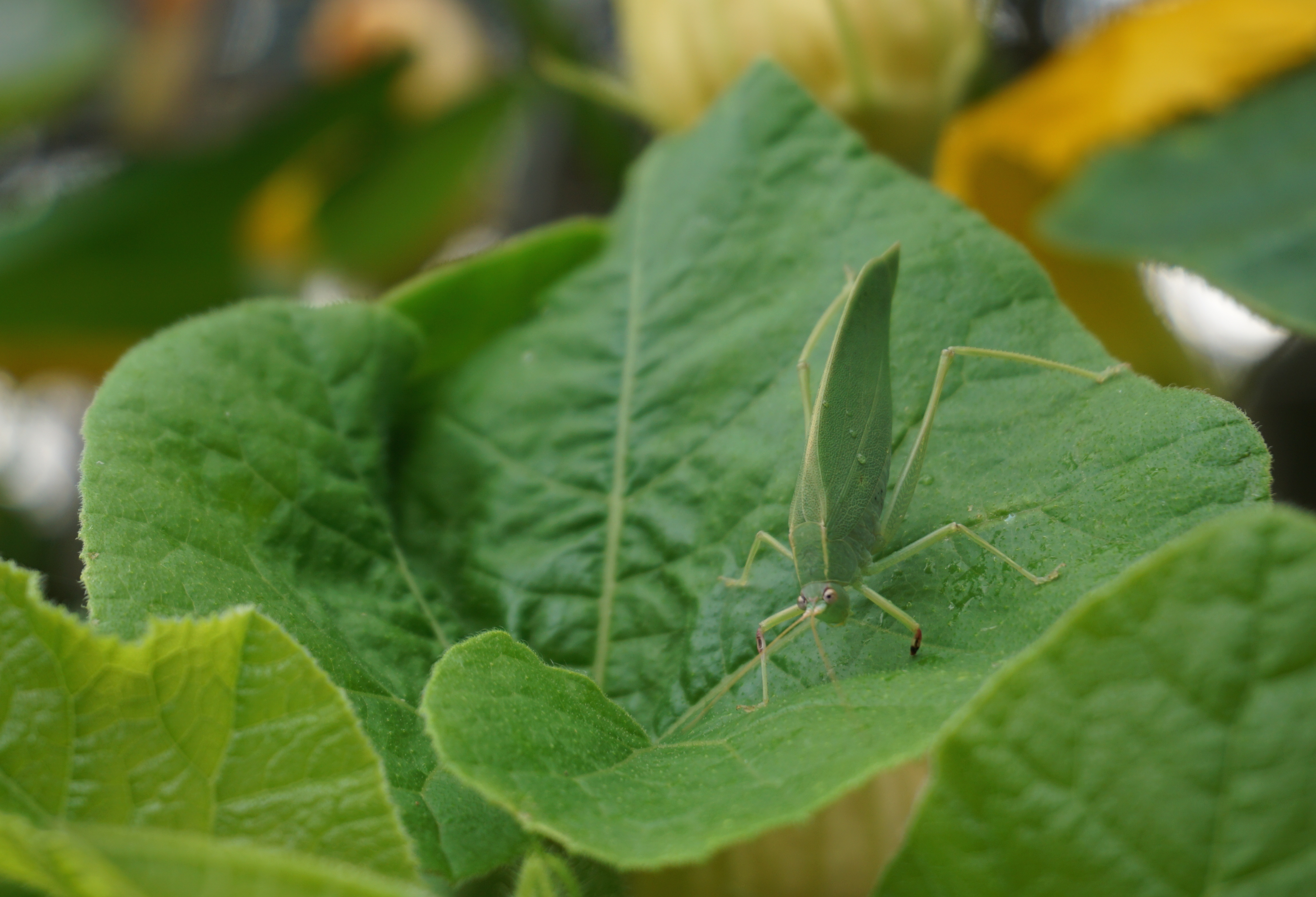 Gorgeous katydid