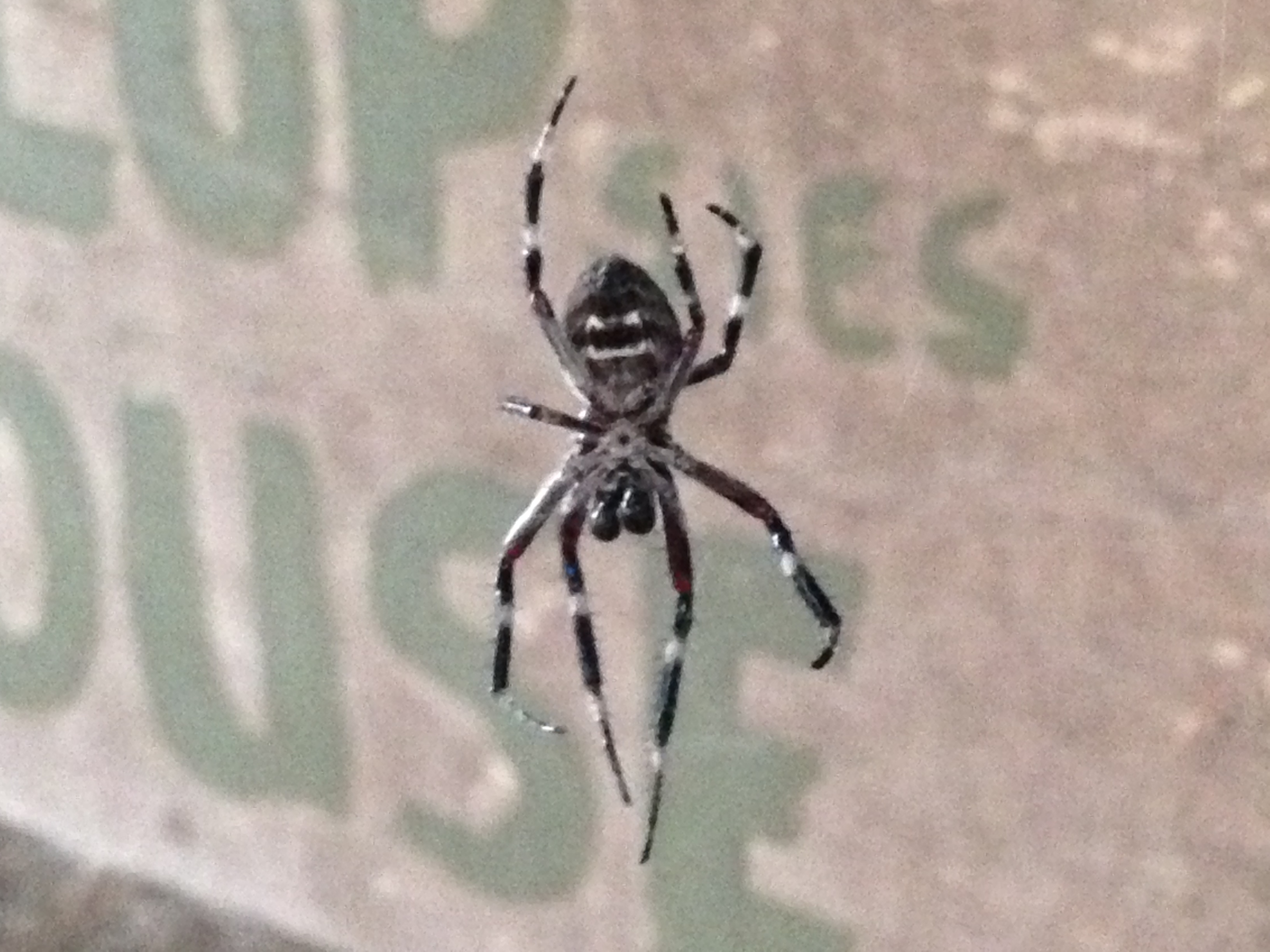 Fabulous spider, probably an orb