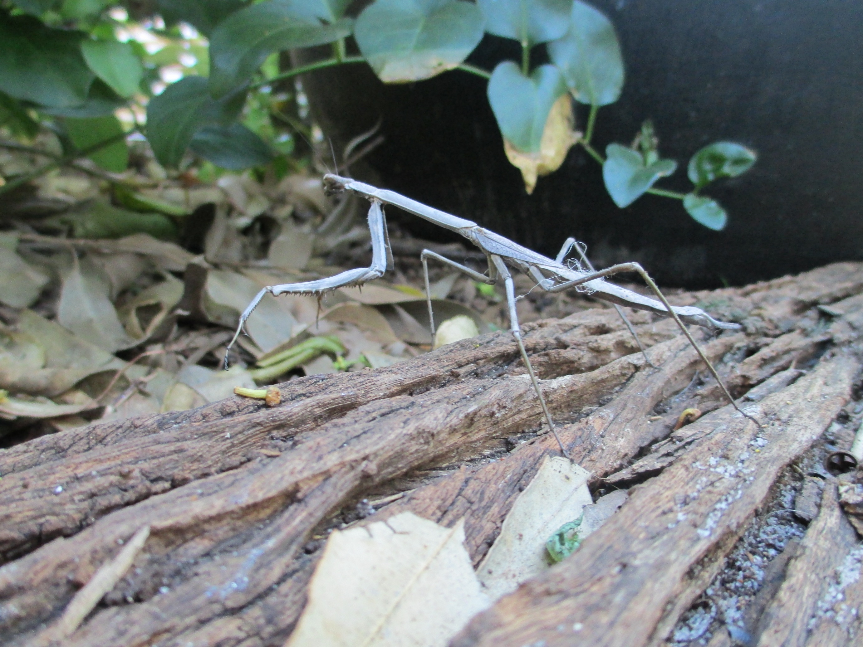 Huge stick insect on a jarrah railway sleeper
