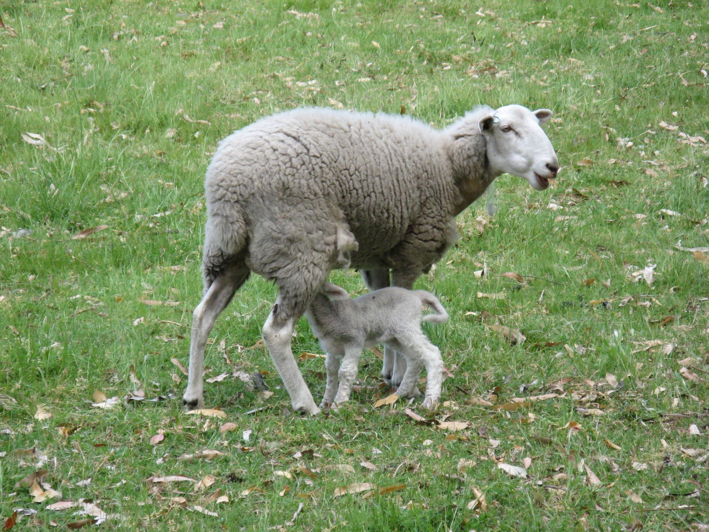Late lamb/s!! | McCarthy Park