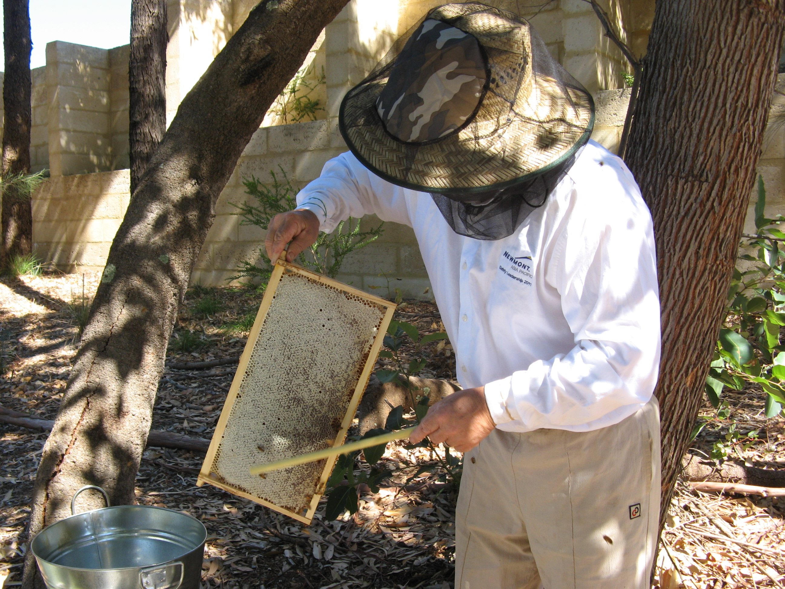Brushing the bees off a frame of capped honey