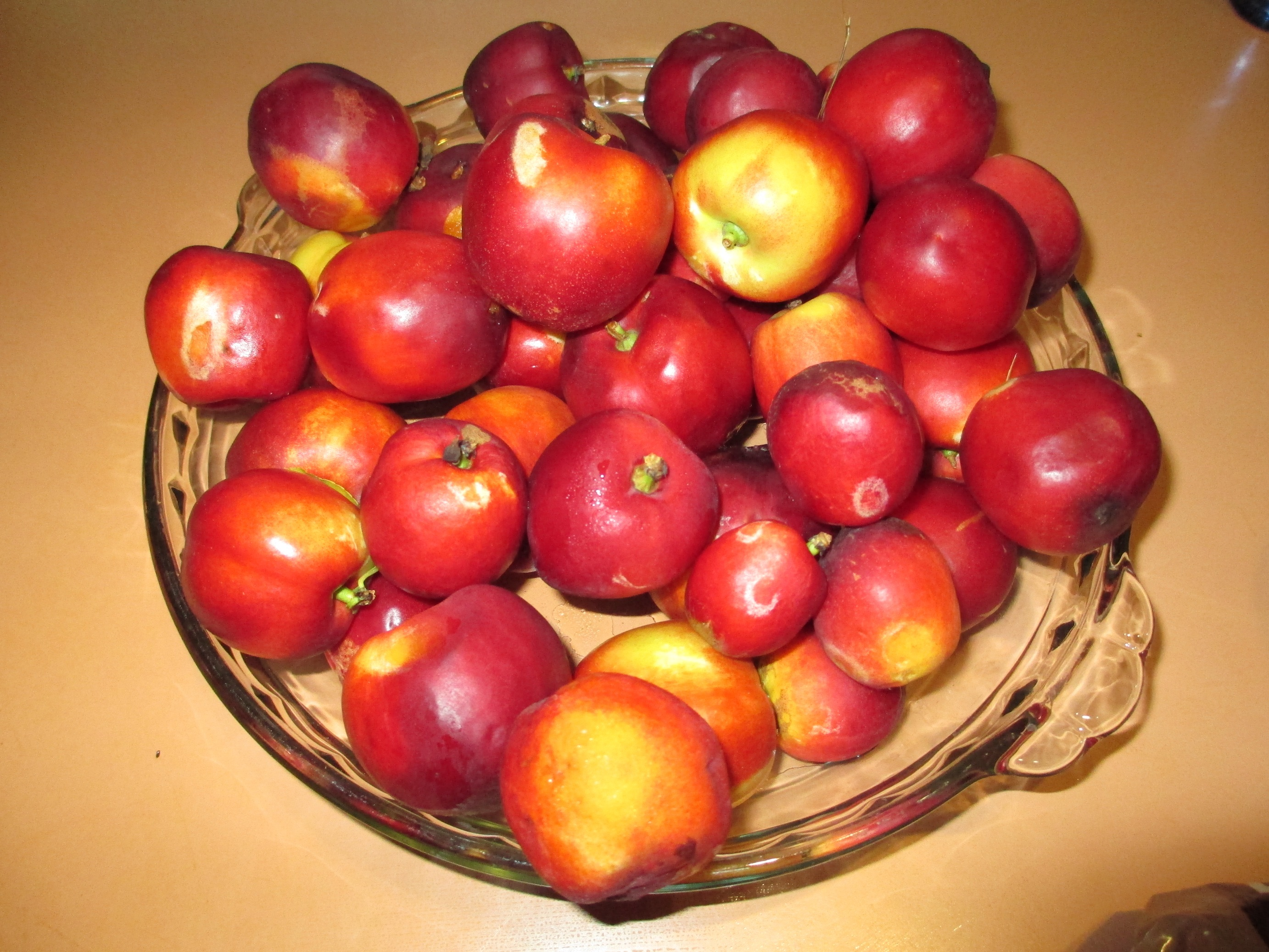 One day's harvest of nectarines!