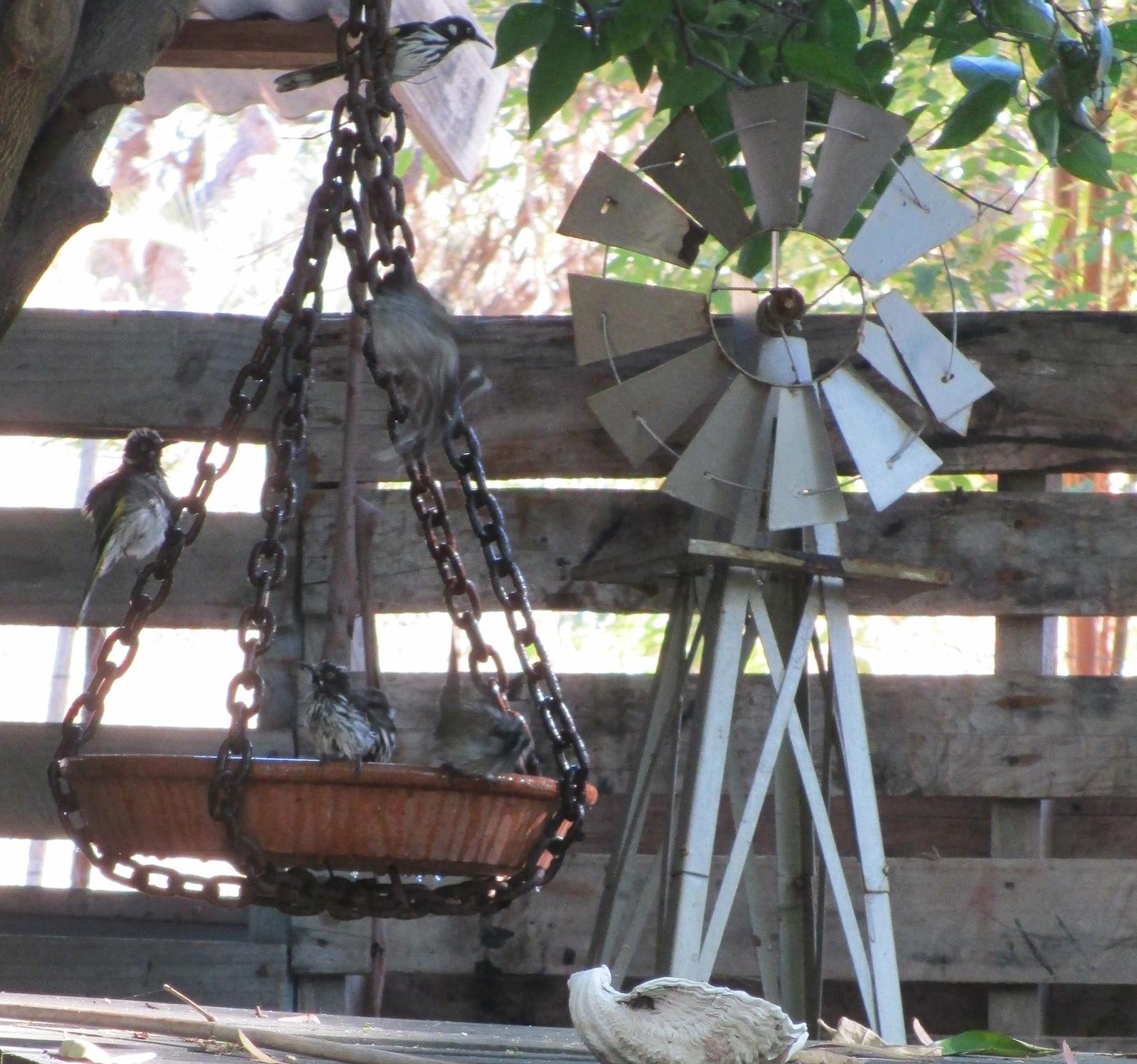 windmill honeyeaters