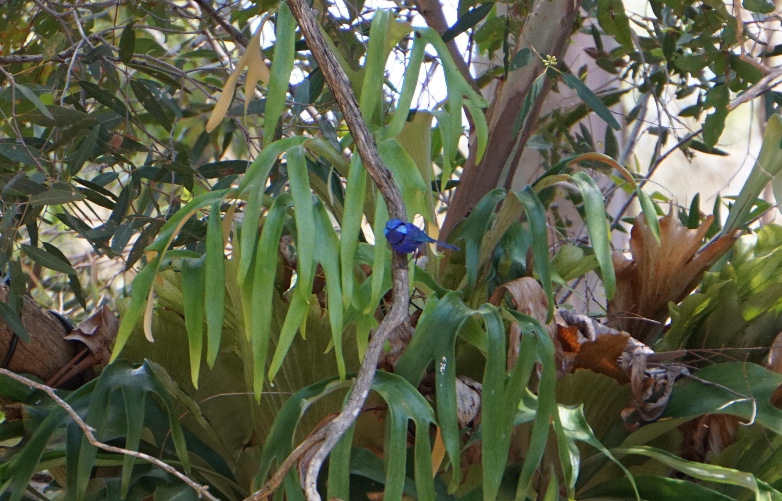 male wren