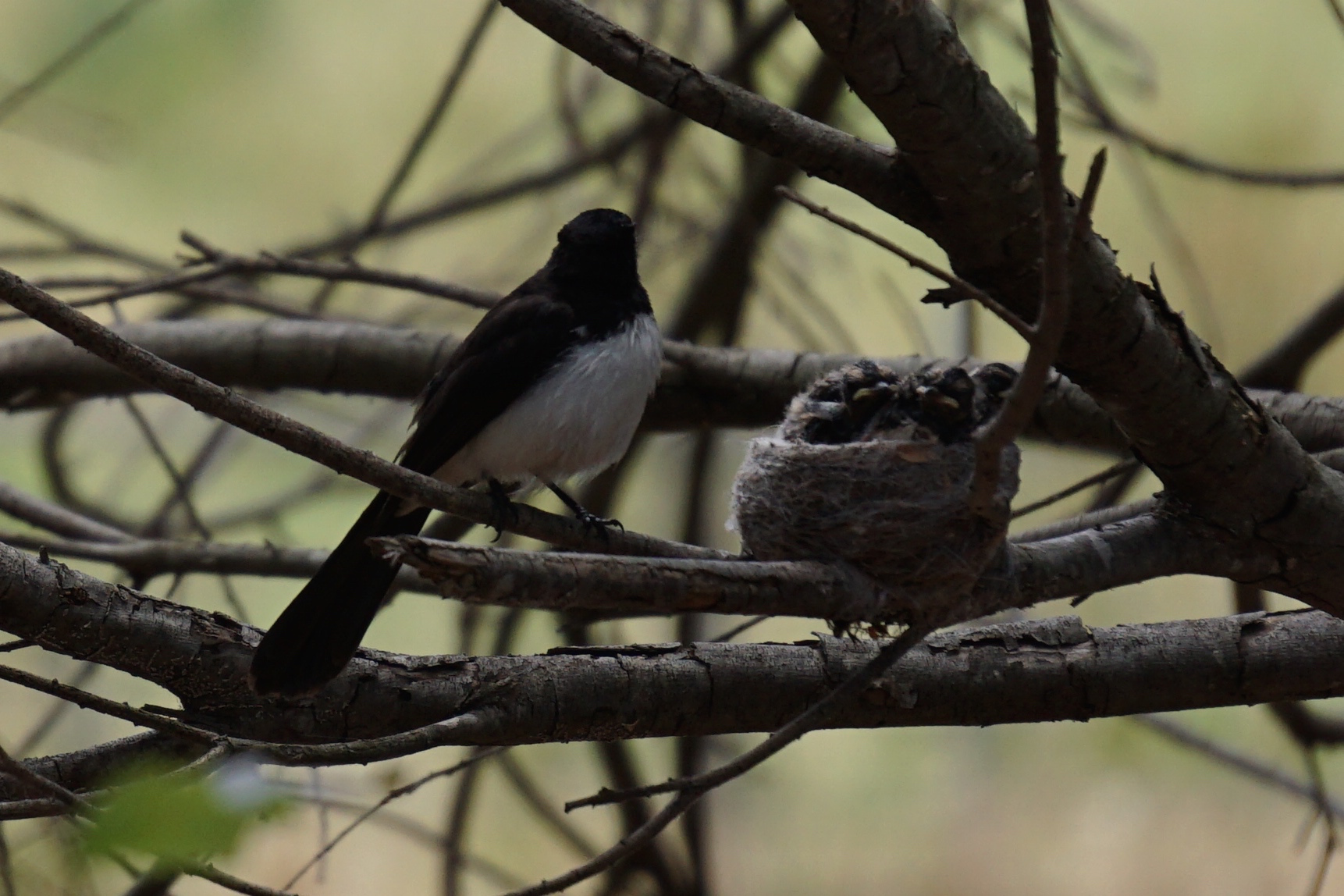 Wagtail nest