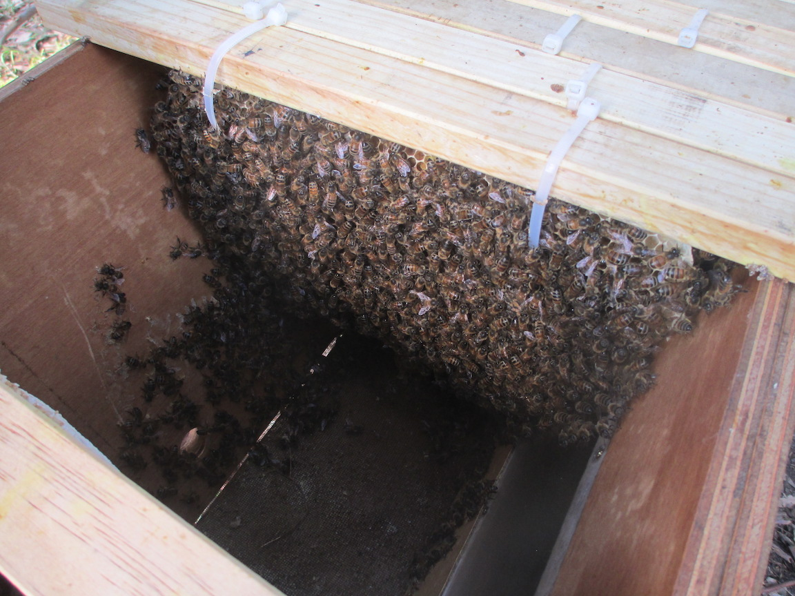Great number of bees after only one week
