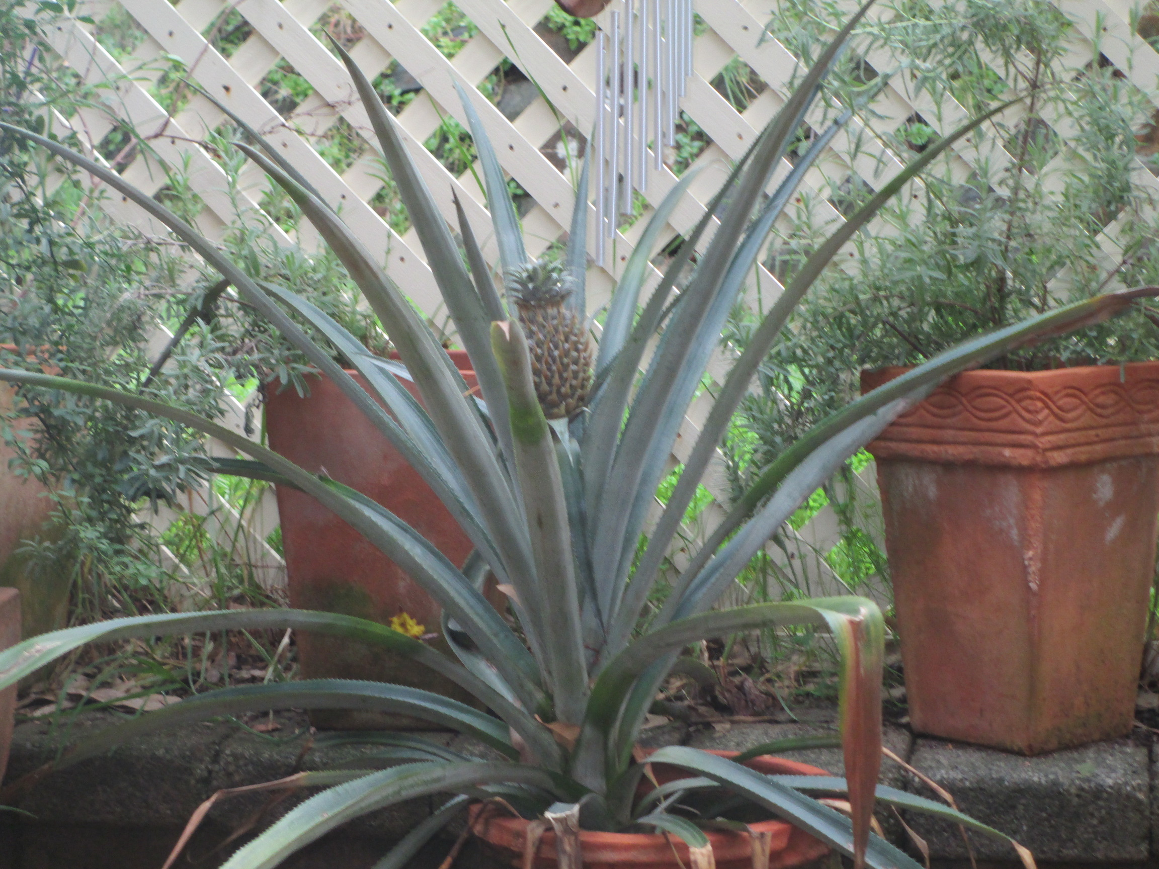 Pineapple growing in a pot