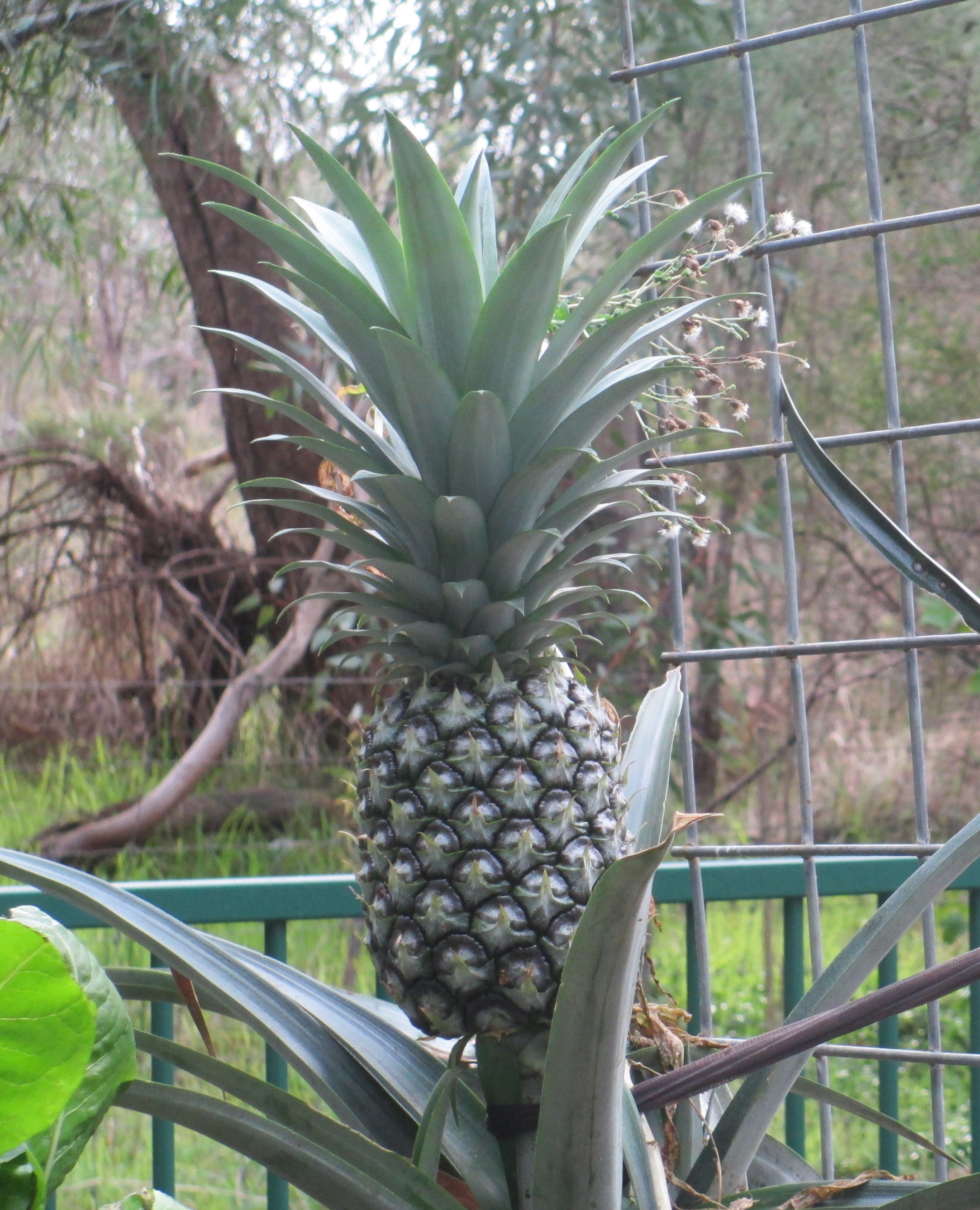 Aquaponics pineapple