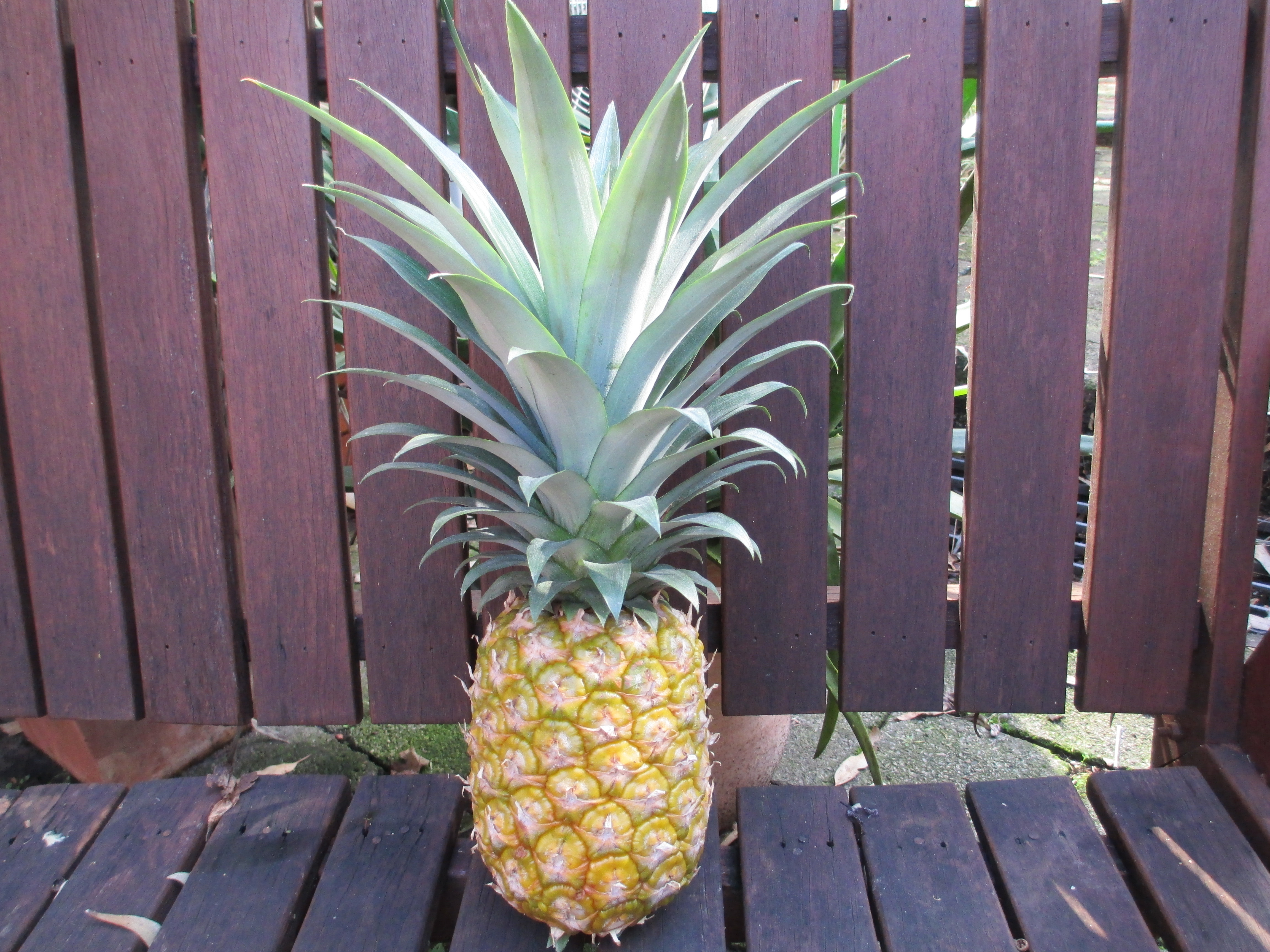 Magnificent pineapple!
