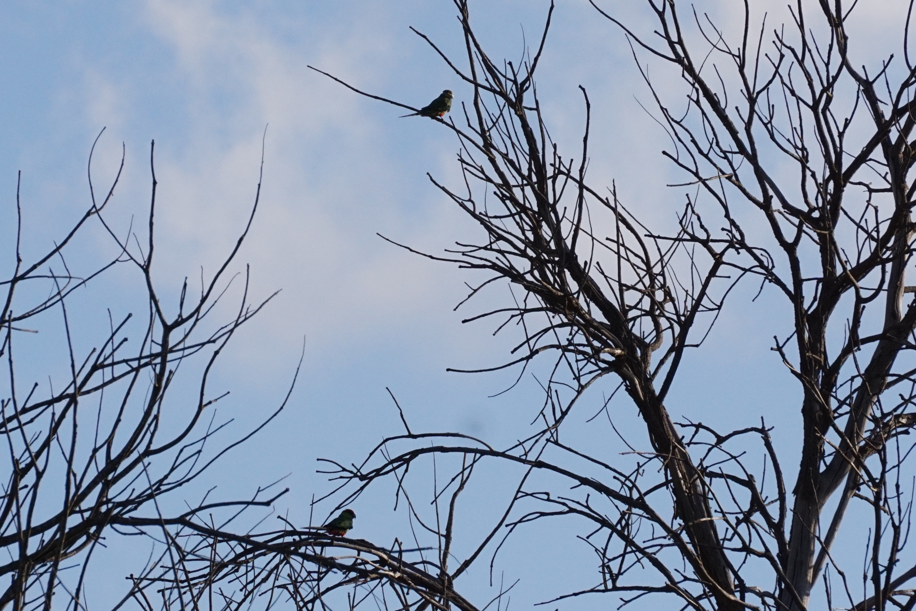 Pair of Red-capped parrots